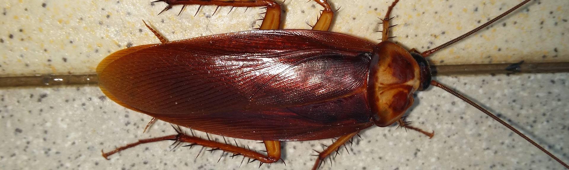 Insectes rampants , désinsectisation 94, extermination cafard-infestation-algo3d- société de désinsectisation val de marne algo3d.