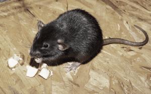 rat-ALGO3D-antinuisible. lutte contre les rongeurs société spécialisée dans la dératisation lutte contre les nuisibles