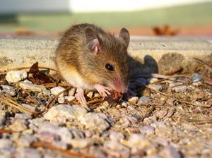 souris-algo3dpestcontrol lutte contre les rongeurs société spécialisée dans la dératisation algo3d lutte contre les nuisibles