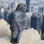 se débarrasser des pigeons,dépigeonnisation, anti pigeons anti oisaeux nuisibles algo3d