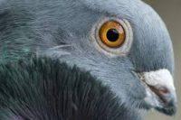 dépigeonnage algo3d spécialisée dans la dépigeonnisation lutte contre les pigeons 91, 92, 93, 94, 95, 77, 78, 75, pari
